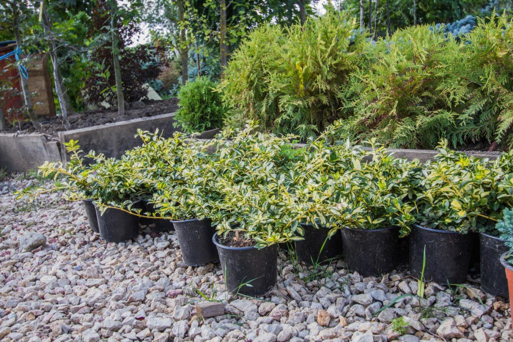 Amenajari plante ornamentale plante ornamentale brasov for Arbusti ornamentali