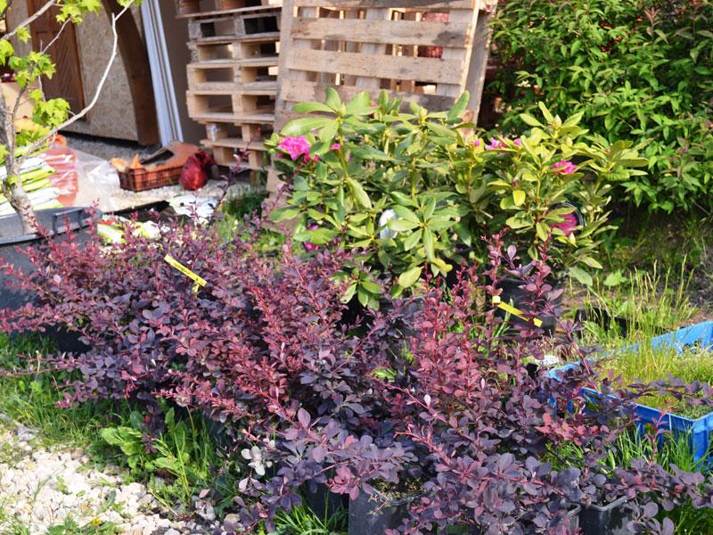 Plante ornamentale speedy green for Plante ornementale